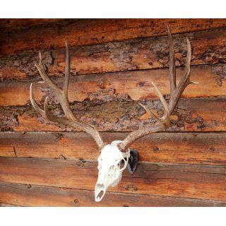Skull Hooker Brown Little Hooker Skull Mount : Hunting And Shooting Equipment : Sports & Outdoors