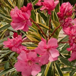 Southern Living Plant Collection 3 Gal. Twist of Pink Oleander 43503